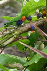 Bergslori T. h. moluccanus är en av underarterna till grönnackade som kommer från Australien och är en av de vanligaste lorierna i bur.  Tillhör de mellanstora lorierna.