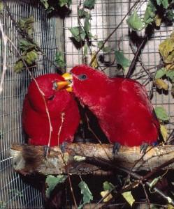 Röd lori Eos bornea. Lämpligt namnsatt efter den grekiska eldguden Eos, men kommer inte från Borneo utan öarna Ceram och Buru. Detta är den verkligt röda lorin. Den lyser! Avigsidan med den som andra Eos-arter är lätet och ibland aggressivitet. Mellanstor.