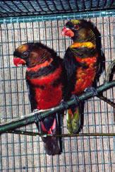 Vitryggad lori Pseudeos fuscata är en, för en papegoja, mycket ovanligt färgad lori från Nya Guinea. Den är högljudd och mindre av de större lorierna.