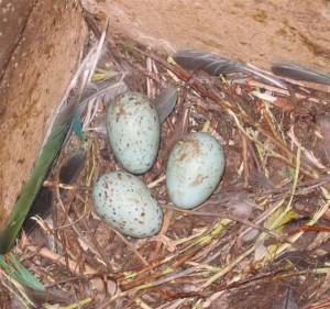 Ägg från första paret.