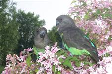 Meyers papegoja