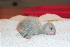 En liten Meyers papegojflicka ser dagens ljus. Två veckor gammal och nyss ringmärkt.