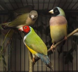 Rödhuvad vitbröstad grönryggad med en svarthuvad lilabröstad grönryggad hona.  I bakgrunden en ännu ej utfärgad unge.