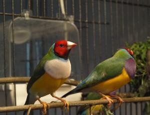 Rödhuvad vitbröstad grönryggad ihop med en en Rödhuvad lilabröstad grönryggad.